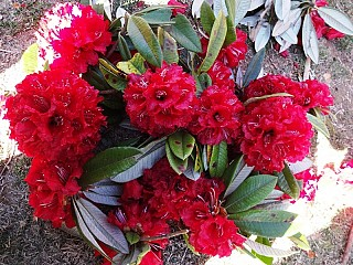National flower of Nepal- Rhododendron