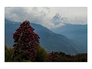 Rhododendron and moutain view from tadapani