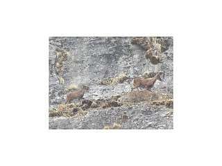 The Himalayan Tahr