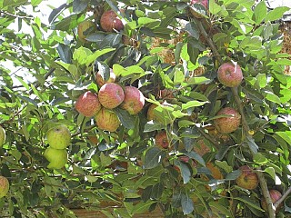 The famous Jumla Apples on the way