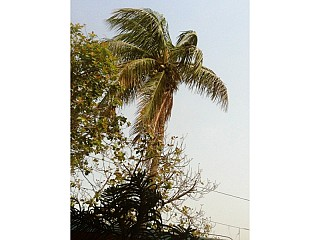 Typical Coconut tree in Janakpur