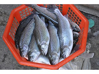 trout Fish in Nepal