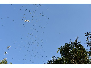 Parrots flying out of the bamboo trees in the morning