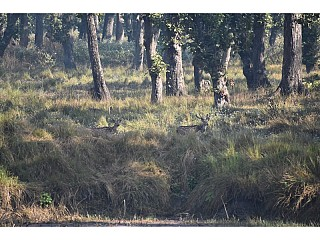 Spotted Deer on the Buffer zone of Chitwan National Park