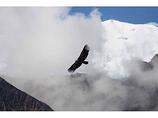 Himayalan Griffon Vulture soaring high up in the sky