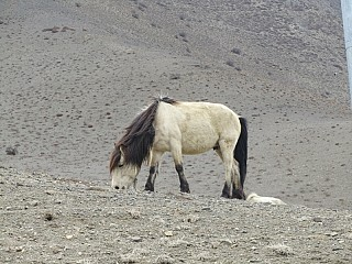 Horse on the way to Jomsom