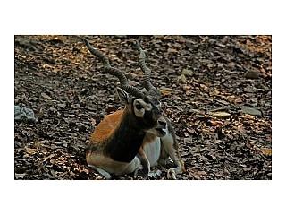 Black Buck Deer
